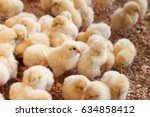 Young Baby Chicks   Factory Fo...