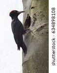 black woodpecker  dryocopus...   Shutterstock . vector #634898108