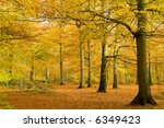 Beech forest in golden foliage - stock photo