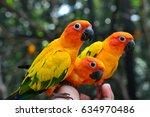 sun conure parrot in a man hand.   Shutterstock . vector #634970486