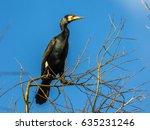 European Great Cormorant ...