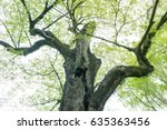 camphor tree in the forest | Shutterstock . vector #635363456