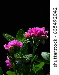 Small photo of Detail of pink flowers on succulent Kalanchoe plant Kalanchoe Blossfeldiana on dark background, in afternoon sun