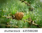 Beautiful Larch Cones And...