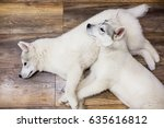 two siberian husky puppies at... | Shutterstock . vector #635616812