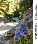 Small photo of gentian growing at alpine creek
