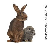Stock photo holland lop rabbit and belgian hare isolated on white 635637152
