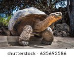 ivory turtle. the galapagos... | Shutterstock . vector #635692586