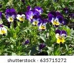 pansy flowers in garden  sunny... | Shutterstock . vector #635715272