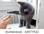 Stock photo a grey kitten playing 63577522