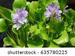 closeup of flowering water...   Shutterstock . vector #635780225