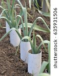 Small photo of Leeks, allium ampeloprasum growing in plastic pipes to blanch and extend the stems in a vegetable garden, variety Musselburgh.