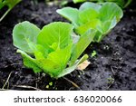 Young Cabbage Growing In The...