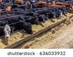 cattle   hereford eating hay in ... | Shutterstock . vector #636033932