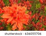 Orange Rhododendron Flowering...