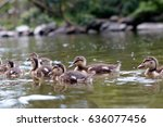 group of yound ducks swimming... | Shutterstock . vector #636077456