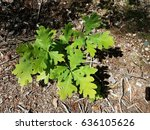 Small photo of oak sapling