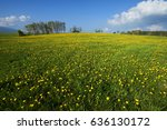 yellow blossoming dandelions on ... | Shutterstock . vector #636130172