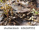 common toad or european toad.... | Shutterstock . vector #636269552