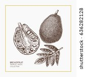 breadfruit hand drawn... | Shutterstock .eps vector #636282128