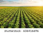 green field of potato crops in... | Shutterstock . vector #636416696