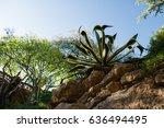 aloe plant growing in botanical ... | Shutterstock . vector #636494495