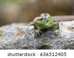 small lizard  | Shutterstock . vector #636512405