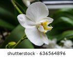 close up white orchid on blur... | Shutterstock . vector #636564896