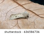 Small photo of Orthosia gracilis the powdered Quaker