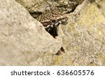 A Wall Lizard  Podarcis Murali...
