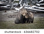 grizzly bear cub cuddling with... | Shutterstock . vector #636682702