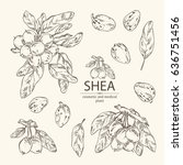 collection of shea  shea nut... | Shutterstock .eps vector #636751456