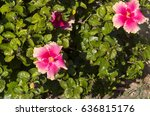 carmine  pink suffused with...   Shutterstock . vector #636815176