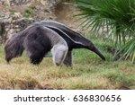 anteater | Shutterstock . vector #636830656