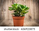 photo of crassula plant in the... | Shutterstock . vector #636923875