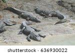 Small photo of American alligators ( Alligator mississippiensis )