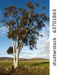Eucalyptus Tree And Pasture In...