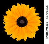 Yellow Rudbeckia Flower Head Abstract Isolated on Black Background - stock photo