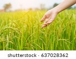The Hands Of Women In The Rice...