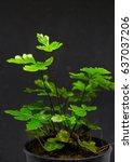 Small photo of Freshness green and small leaf of Adiantum, black leaf stalk fern