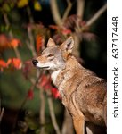 Small photo of Red Wolf during the fall season