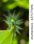 common baron caterpillar ... | Shutterstock . vector #637177696