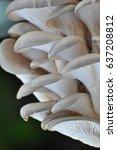 Oyster Mushroom Or Pleurotus...