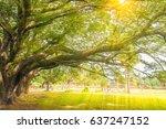 big tree in angkor wat cambodia | Shutterstock . vector #637247152