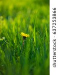 nice spring yellow taraxacum... | Shutterstock . vector #637253866
