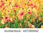 beautiful pink cosmos flower in ... | Shutterstock . vector #637283062