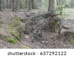 growing pine with unusual and...   Shutterstock . vector #637292122