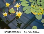 Four Yellow Lotus Blooming In...