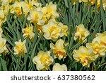 Pretty Yellow Daffodils Grace...