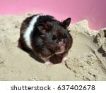 Black And White Syrian Hamster...